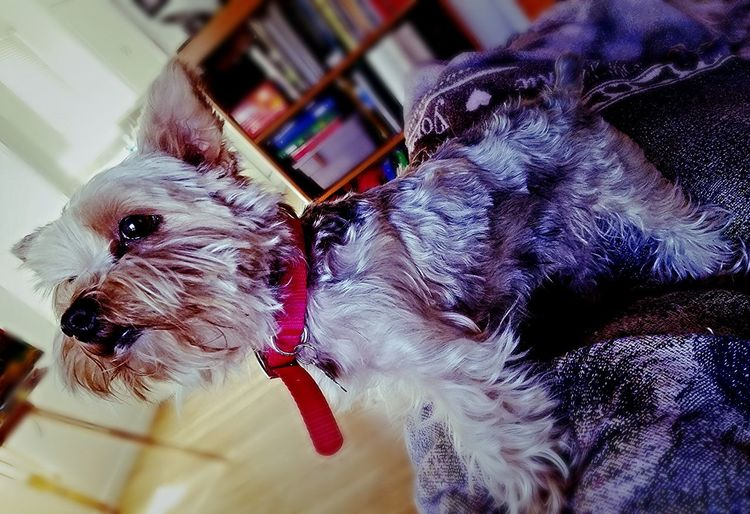 Cute! Puppy Love Little Fish Mrs Puppy Doggie Love Ponyo Cuddlebuddy Hello ❤ Dirty Dog Lovable KAWAII Adorable Cute Yorkshire Terrier YorkieBestShots Puppy