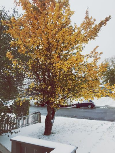 Nature Autumn Tree Outdoors Leaf Beauty In Nature Snow Cold Turning Leaves Brr Fall Fall Beauty IPhoneography