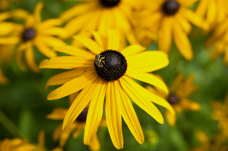 High angle view of insect on black-eyed susan