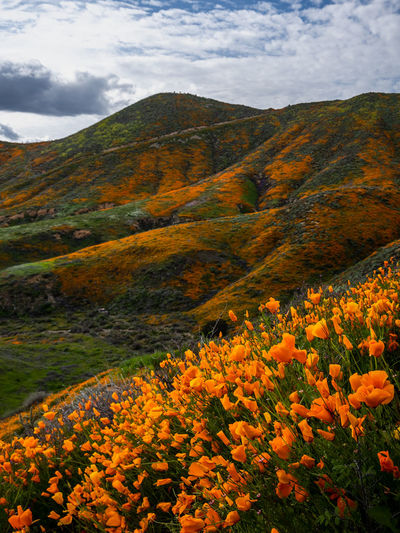 Light was escaping fast SUPER BLOOM AT WALKER CANYON Super Bloom at Walker Canyon I've never seen this many California Poppies before. Just mind blowing… My friend and I started the day quite late, and our first stop was Ortega Falls, so by the time when we were trying to enter Walker Canyon, we were moving in our car at 2 MPH on I-15. It took us over an hour to travel a mile. In the end we arrived. I hiked up the fireroad as most people did and started taking photos. Every turn made me super excited. This Super Bloom was seriously mind blowing. The amount of rain that we had had this winter truly turned this otherwise brown hills into something out of this world. The ever changing light due to the constantly moving clouds made the beautiful green hills and slopes that were already painted in patches of orange gave me an opportunity to do some timelapse, which is coming. Stay tuned. I wished I could had stayed longer, but then the light was escaping fast. I watched some colors in the sky at sunset and started down the hills. Walker Canyon, Lake Elsinore, CA Beauty In Nature Scenics - Nature Cloud - Sky Sky Flower Landscape Nature No People Orange Color Tranquility Tranquil Scene Travel Destinations Outdoors Flowerbed California Poppy Walker Canyon, Lake Elsinore, CA Lake Elsinore Super Bloom Wildflowers Wet Winter Adventure Landscape Photography
