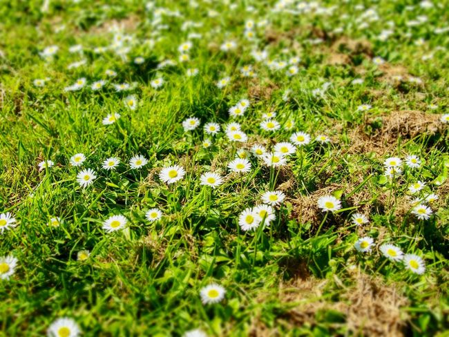 Daisy bed Springtime Spring Flowerbed Daisy Plant Green Color Growth Grass Selective Focus Field Land Nature No People Day Beauty In Nature Tranquility Outdoors Freshness Sunlight Fragility Close-up Flower