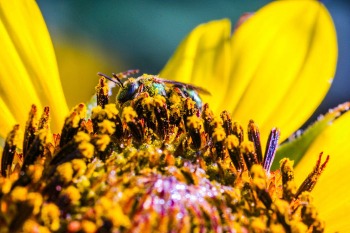 GLUTTON For POLLEN! (Augochlora Sweat Bee) Macro Macro Photography Still Life Fine Art Perspective Point Of View Bee Bee 🐝 Bees Bees And Flowers Beesofeyeem Nature Nature_collection Macro Nature Macro Insects Gods Creation Pollen Pollination Sunflower Sunflower🌻 Glutton NX1 Compoundeye Insect Insects