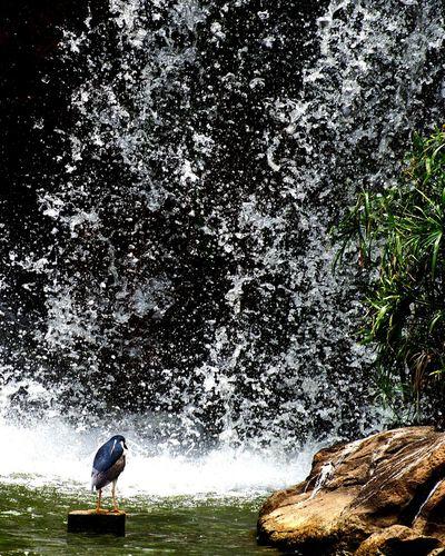 Braveheart Waterfall Bird Photography Eyeemphoto Dramatic Splashing Animal Fun