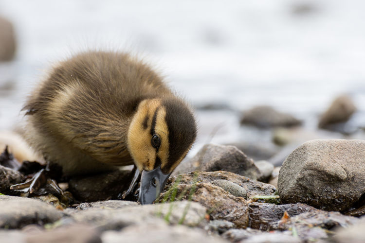 A young duckling exploring the rocky beach at Milarrochy Bay Animals In The Wild Animal Wildlife Bird Animal Young Bird Animal Themes Outdoors Nature Day No People Young Animal One Animal Close-up Beach Water Fragility Duckling Eating Rocky Beach Trossachs National Park Birds Wildlife Loch Lomond Fluffy Cute