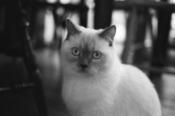Prettiest cat Cat Portrait Animal British Shorthair Analogue Analog Analogue Photography