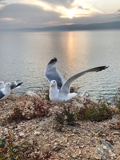 Seagulls flying over lake during sunset
