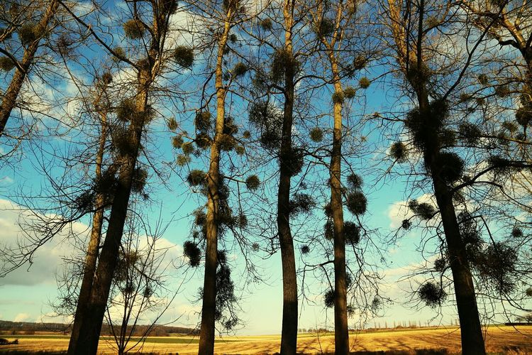 Trees Tree Tree_collection  Treelovers Blue Sky EyeEm Nature Lover Nature_collection Nature Showcase March No People Taking Photos Taking Pictures Walking Around Fields Mistletoe Sunlight Landscapes Poplars Tree And Sky Trees And Sky Sky Clouds The Great Outdoors - 2016 EyeEm Awards