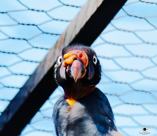 Animal Themes One Animal Bird Beak Day Animal Wildlife Outdoors Animals In The Wild Cage Trapped No People Nature Close-up