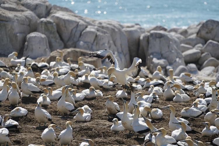 Gannets at beach