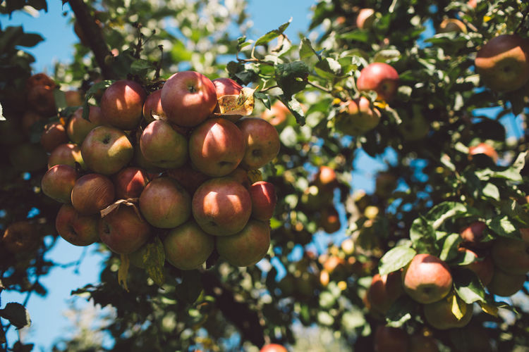 Fruit Healthy Eating Food And Drink Food Tree Plant Growth Freshness Wellbeing Day Nature Fruit Tree Leaf Agriculture Low Angle View Focus On Foreground Close-up Plant Part Beauty In Nature Ripe No People Outdoors