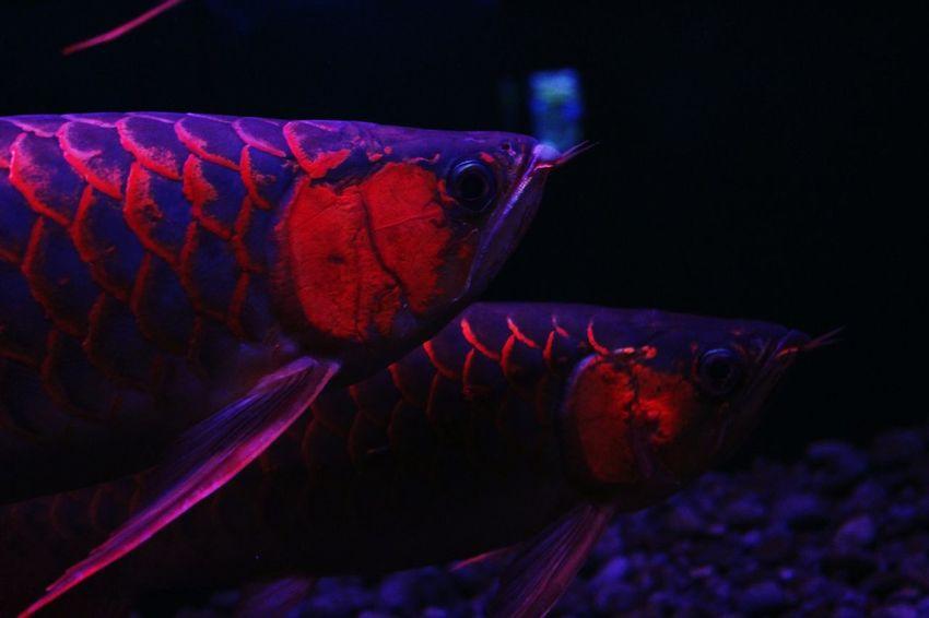 EyeEmNewHere Animal Themes Underwater Aquarium No People Close-up Black Background Nature Arowana Fish Indoors  Red