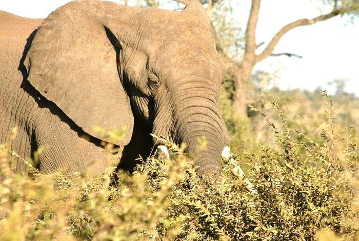 Nature elephant Krugernationalpark