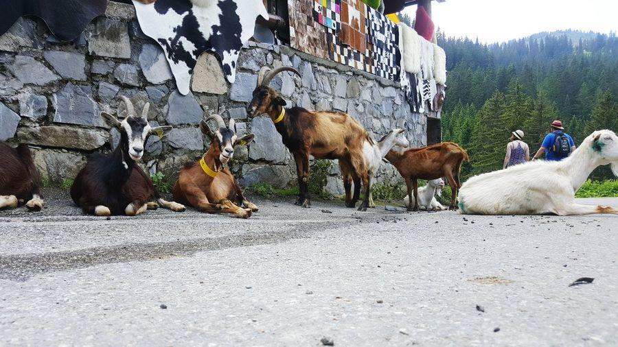 Goats Goats