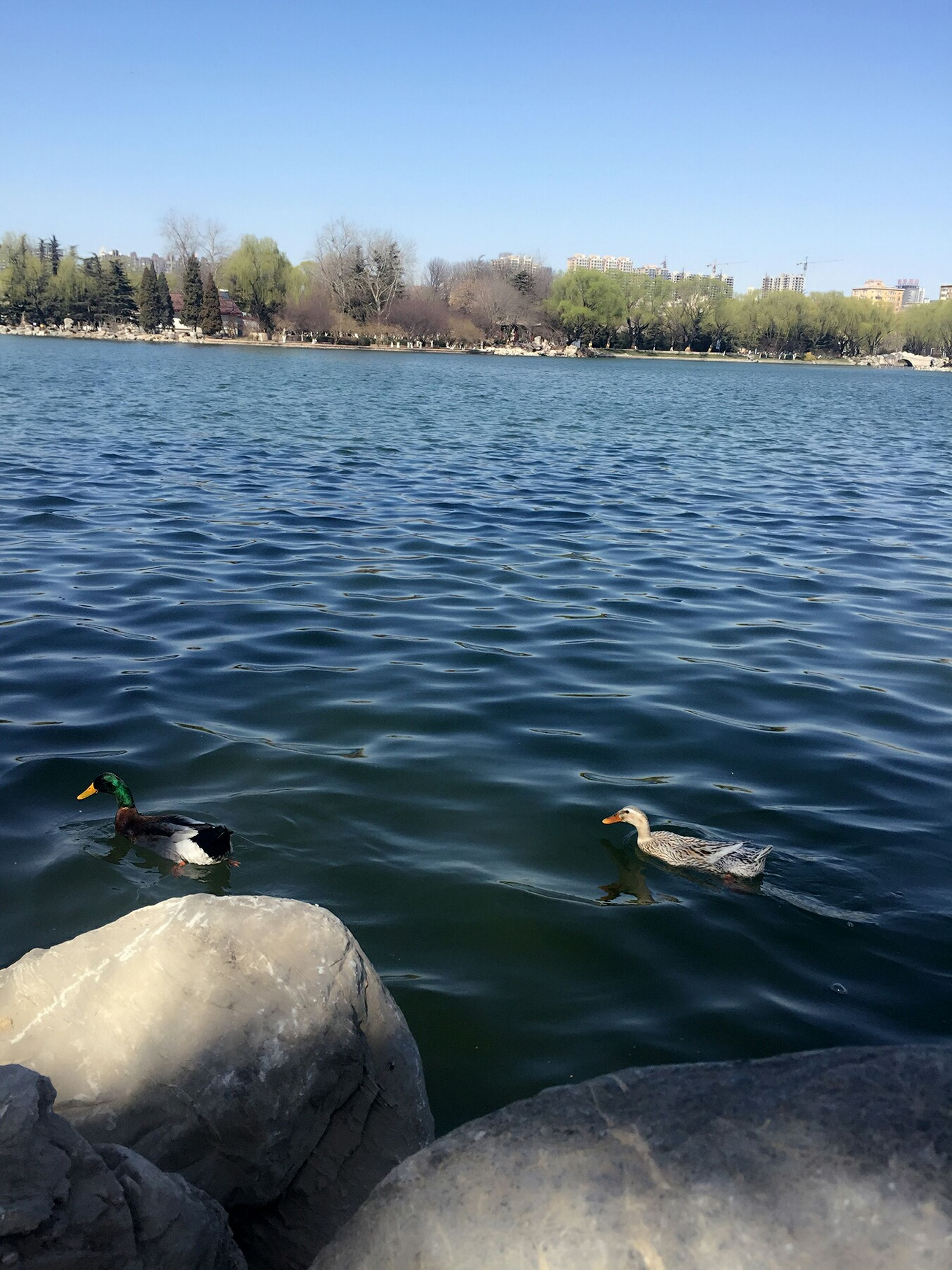 water, bird, lake, wildlife, animal themes, animals in the wild, clear sky, swimming, rippled, duck, tranquility, reflection, tranquil scene, nature, tree, blue, beauty in nature, scenics, rock - object, river