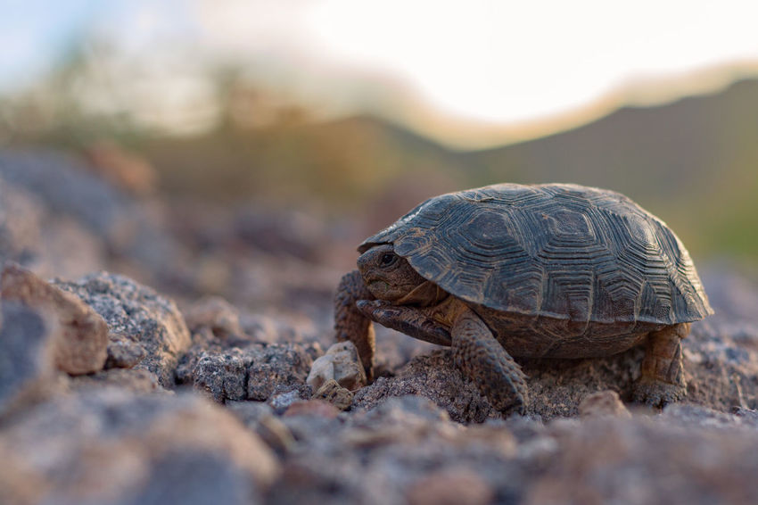 Ironwood Forest National Monument Animal Animal Shell Animal Themes Animal Wildlife Animals In The Wild Close-up Day Land Nature No People One Animal Outdoors Reptile Rock Selective Focus Shell Solid Tortoise Tortoise Shell Turtle Vertebrate