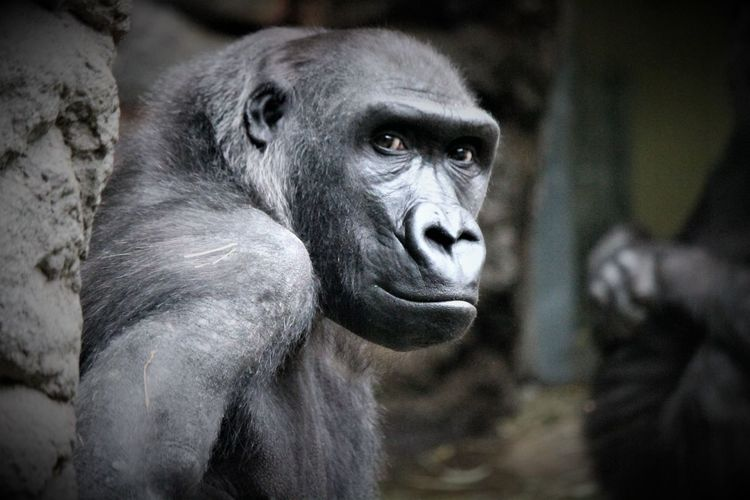 Zoo Animals In Captivity Primate Mammal Animal Wildlife One Animal Ape Gorilla Close-up Looking No People Staredown Seriousness  Whatareyouthinking