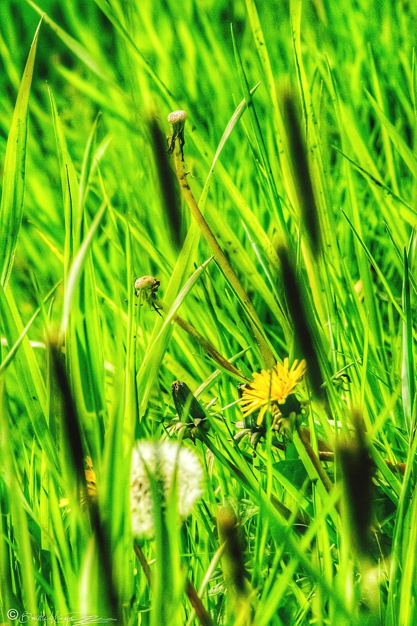 nature, grass, green color, growth, plant, field, no people, beauty in nature, flower, outdoors, close-up, day, freshness