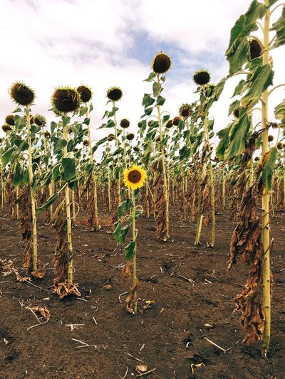 Yellow Australia Drought Outback Queensland Summer Sunflower Farm Plant Sky Growth Cloud - Sky Nature Day Land Environment Agriculture Flower Beauty In Nature Tranquility Field Tree No People Tranquil Scene Crop  Flowering Plant Outdoors Landscape