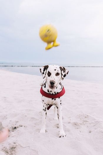 Portrait of dalmatian dog on beach