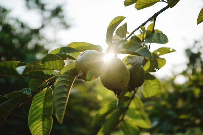 Kebun Buah Mangunan Imogiri, Yogyakarta, Java, Indonesia Agriculture Bantul Branch Close-up Depth Of Field Evening Sun Freshness Fruit Garden Fruits Gardening Green Green Color Growth Guava  Imogiri INDONESIA Java Kebun Buah Mangunan Leaves Mangunan Nature Plant Sunlight Traveling Tree