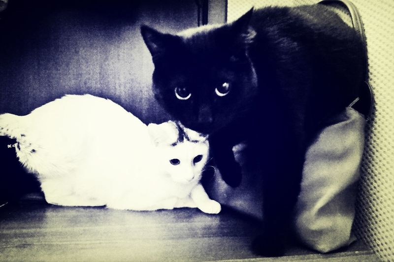Black cat white cat Cat Pets