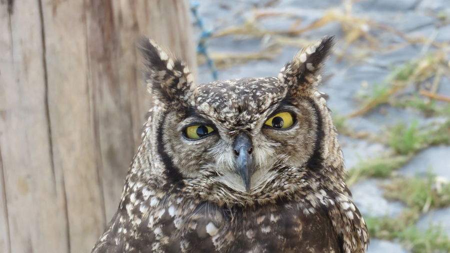 Angry Owl Raptor Nocturnal Nature AnimalTheme Wildlife Spotted Real Owl African Real Owl Real Owl Owl Bubo Africanus Bird Of Prey Bird Owl Portrait Looking At Camera Eye Close-up Animal Body Part Animal Eye Animal Head  Beak Yellow Eyes