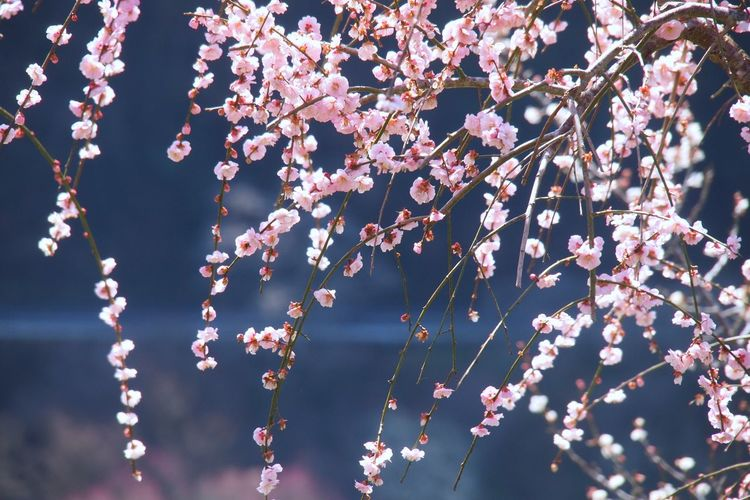 Close-up of pink plum blossom
