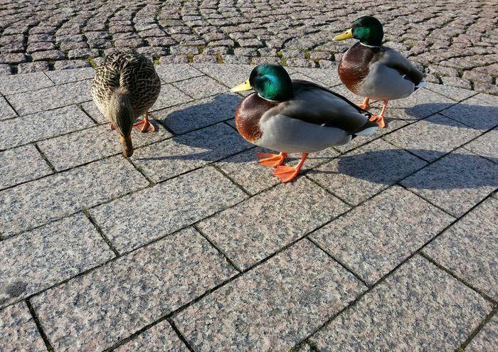 Es muss nicht immer DSLR sein. Es gibt Momente, da tut's auch ein Smartphone.☺ Die damit erreichbaren Perspektiven, sind mitunter echt cool & interessant. Diese hier errinnert ganz leicht an Fisheye. Spontaner Schnappschuss der wilden Drei.😁 Demnächst inkl. Fütterung, sonst wird's mir evtl. übel genommen...😁Selective Focus From My Point Of View Relaxing Moments Capture The Moment Mallards Mallard Ducks Mallard Duck Mallard Ducks Duck Enjoying Nature EyeEm Nature Lover Friendly Cute Urban Nature Beauty In Nature Snapshot Mallardduck Urban Duck Close-up Moment