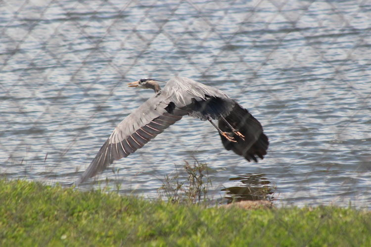 Animal Themes Animal Wildlife Animals In The Wild Bird Day Grass Gray Heron Heron Nature No People One Animal Outdoors Spread Wings Colorful Flying Canonphotography Popular Photos Water Bird Motion Lake Waterfront Fences Beauty In Nature