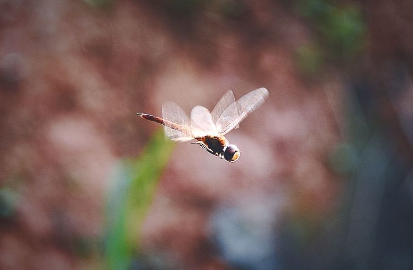 阳光下的蜻蜓…镀了成金色