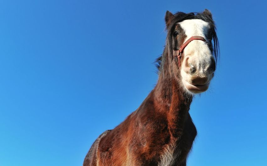 Low angle view of horse against clear blue sky