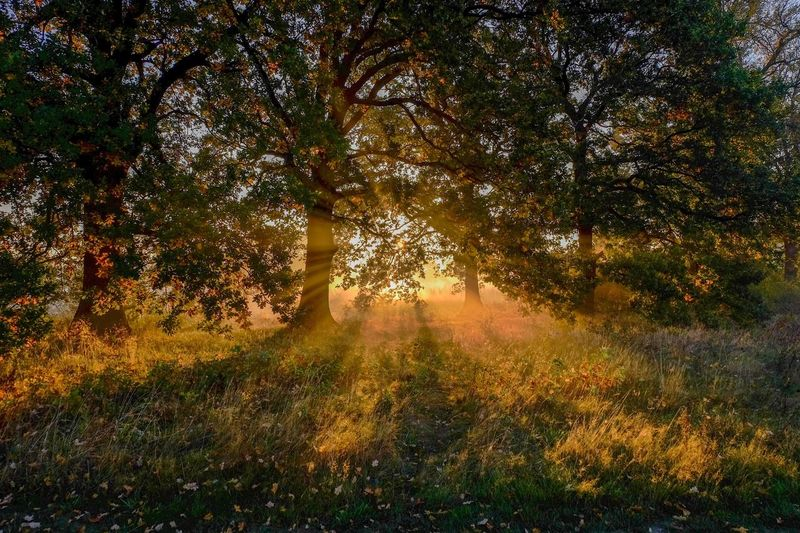 god rays Tree Plant Beauty In Nature Nature Tranquility No People Growth Scenics - Nature Sunlight Land Idyllic Landscape Outdoors Branch Field Non-urban Scene Forest