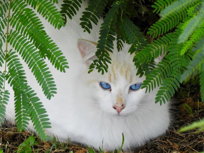 Blue eyes under a mimosa Nature Cat Leaf Plant Part Growth Feline Tree No People Pets Day Close-up Domestic Animals Domestic Cat