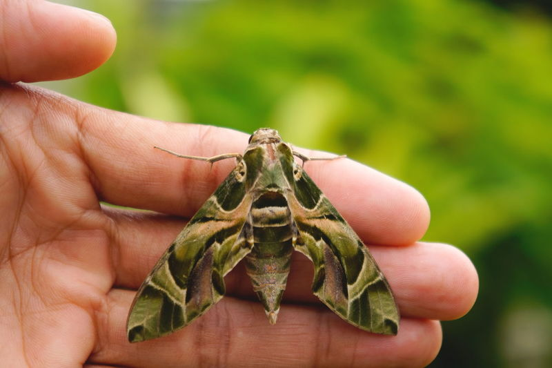 Close-up of hand holding moth