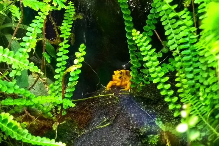 Frog Frogs Poison Dart Frog Poison Arrow Frog Yellow Yellow Frog Leaf Close-up Tiny