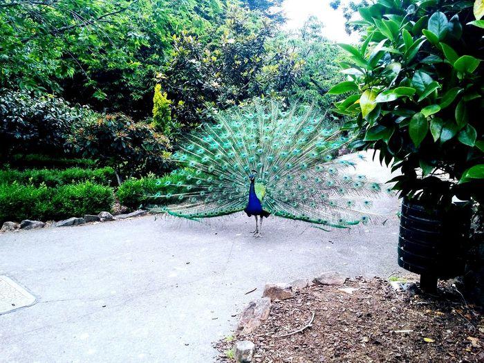 Peacock Majestic Australia Animals EyeEmNewHere GALAXY S4