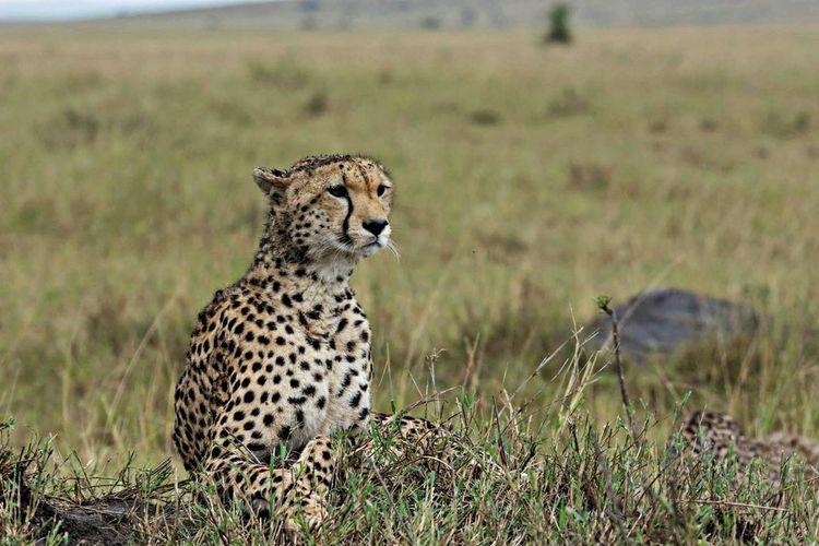 Close-up of cheetah in field