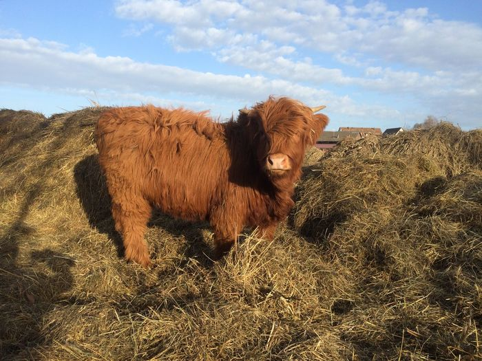Scottish highland cow Pets Corner Agriculture Farm Nature Photography Beautiful