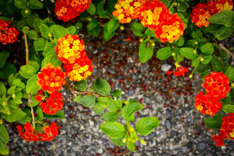 Flower Growth Leaf Plant Nature Green Color Freshness Outdoors Beauty In Nature Day No People Fragility Close-up Flower Head Lantana Camara Lantana