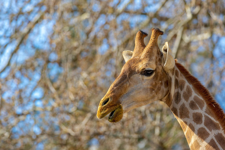 Animal Wildlife One Animal Animal Themes Animals In The Wild Animal Mammal Focus On Foreground Animal Head  Animal Body Part Giraffe Tree Day Close-up No People Nature Herbivorous Vertebrate Low Angle View Side View Brown Outdoors Profile View Animal Neck