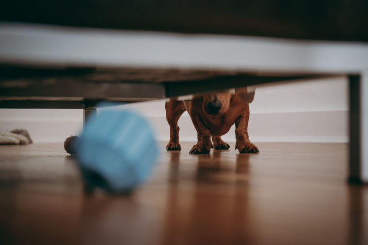 Dog looking under the sofa, looking for the toy, shallow focus. Lost in the Landscape Motion Blur Pet Photography  Pets Corner Play Time Playing With The Animals Toys Under Ball Close Up Close-up Concept Dachshund Flooring Home Interior Indoors  Leisure Activity Looking Looking For Playful Searching Selective Focus Sofa Surface Level Toy