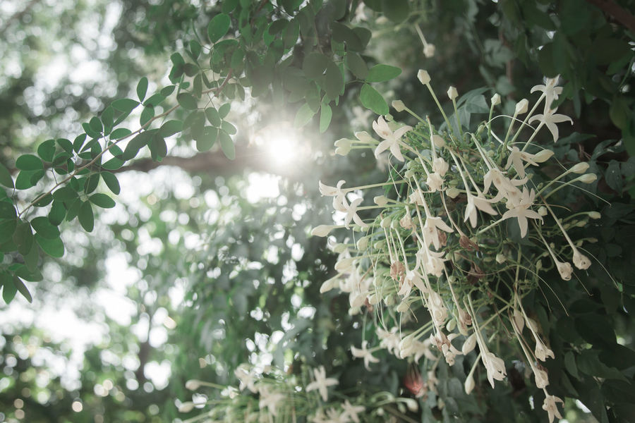 Millingtonia hortensis flower with sunlight Calmness Millingtonia Hortensis Beauty In Nature Flower Freshness Green Color Growth Leaf Leaves Nature Plant Plant Part Sunlight Tree White Flower