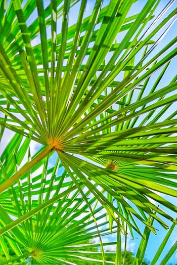 Leaves Leaves Palm Palm Tree Green Greens Natural Green  Light