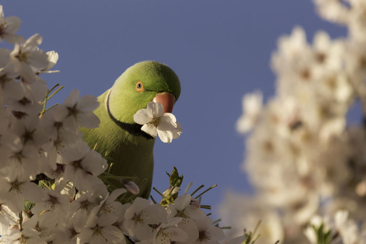 Low angle view of parrot on cherry blossoms tree