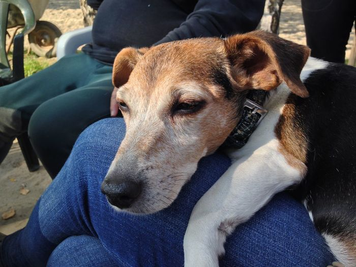 Jack russell terrier resting on person lap
