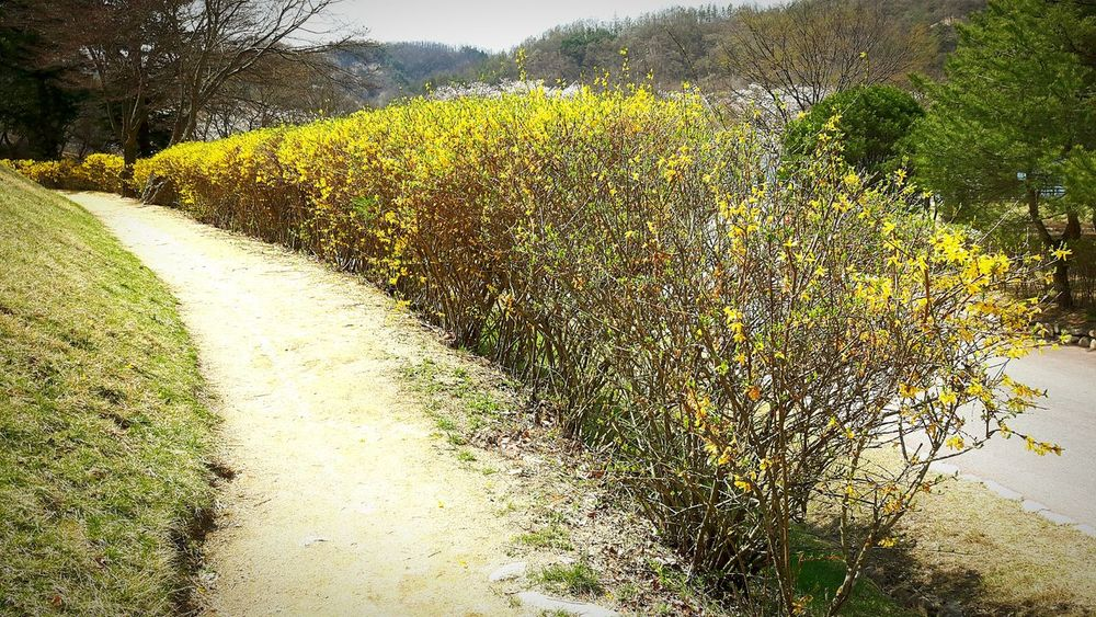 Day Field Nature Outdoors No People Sunlight Growth Agriculture Grass Forsythia Forsythia Blooms Forsythia Flowers Andong,korea Tranquility Tranquil Scene Beauty In Nature Landscape The Way Forward Tree Scenics Plant Green Color Rural Scene