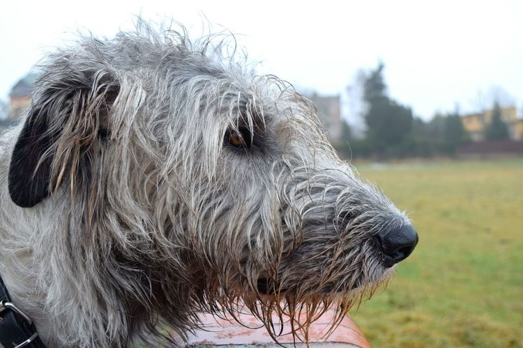 One Animal Domestic Animals Close-up Animal Head  Animal Eye Dogwalk Irish Wolfhound Cearnaigh Dogslife Dogs Of Winter Petscorner Dogs Of EyeEm Dog Of The Day January 2017 Winter 2017 It Is Cold Outside Outdoors Portrait Bokeh Landscape