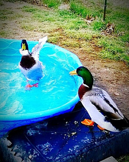 Adventure Buddies Better Look Twice I Love My Pets Ducks Henry and Omaly. Omaly is in the water. He is 100% pour bread. I saved him 6 years ago. He was in a river with a broken wing. RIP my Omaly. He died about 3 months ago. I miss him so. He was my first duck. Henry is a mix. Bought him from a farmer so Omaly wouldn't be alone. I Love All Creatures Great And Small Details Textures And Shapes Pictureoftheday EyeEmBestPics Samsung Galaxy S6 Edge Cellphone Photography My Favorite Photo Of The Day Outdoor Photography Animal_collection Animal Photography Animal Themes Protecting What We Love Swimming Pool Pool Party Every Picture Tells A Story... Repost Reedit My World ❤ Animals Are My Passion