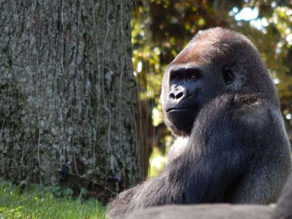 Zooatlanta Gorilla