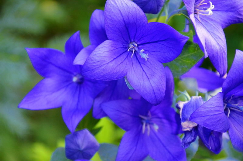 Beauty In Nature Blossom Blue Botany Close-up Day Flower Flower Collection Flower Head Flower Photography Flowers Flowers,Plants & Garden Focus On Foreground Growth In Bloom Nature Plant Pollen Purple